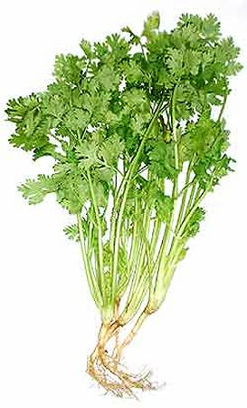 Cilantro is a powerful herb